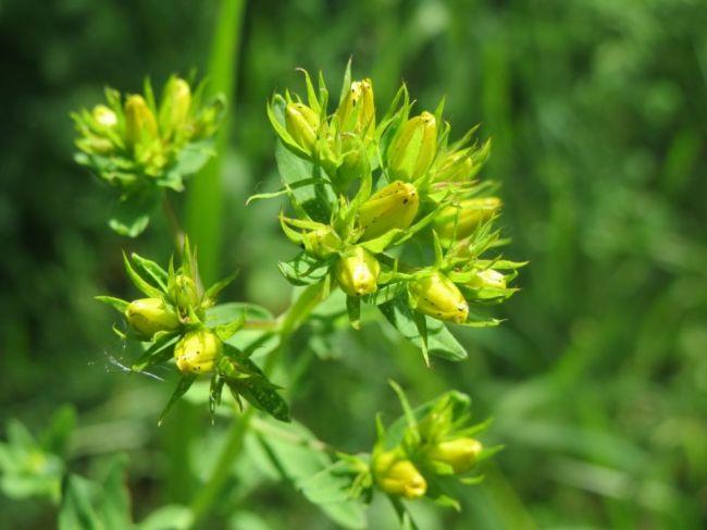 Lekári varujú: Obľúbená upokojujúca bylina môže mať vážne vedľajšie účinky