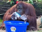 Video: Orangutan sa od ošetrovateľov naučil skvelú techniku umývania rúk