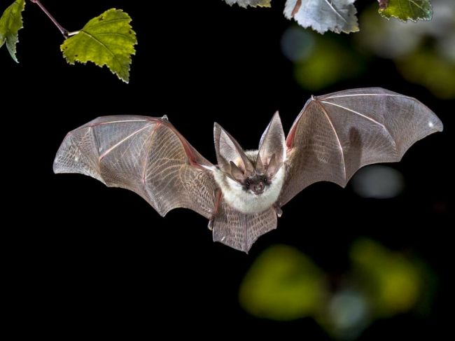 V Peru zachránili 200 netopierov; ľudia ich chceli upáliť v obave z koronavírusu