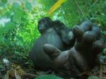 Video: Gorily dokážu spievať, skrytá kamera odhalila ďalšie tajomstvo