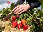 Začali sa samozbery jahôd, pestovatelia pripravili 23 jahodovísk