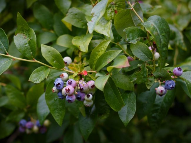 Šťavnatý muchovník skrášli záhradu a skvalitní zdravie
