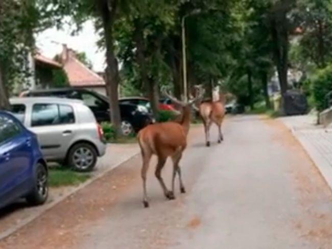 Video: Po ulici v Ružomberku sa za bieleho dňa prechádzali jelene