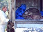Africký mor ošípaných identifikovali v chove na Slovensku