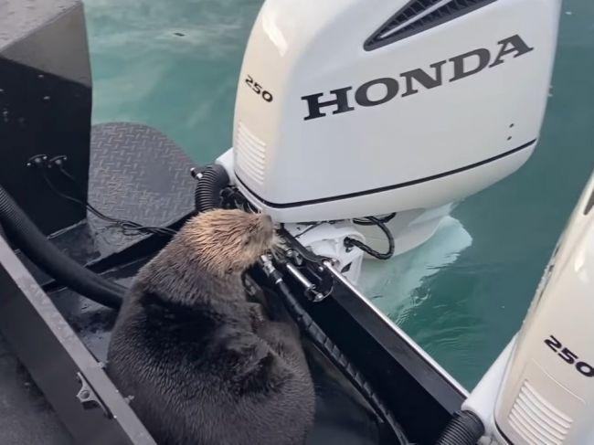 Video: Vydra skočila výskumníkom do člna. Pred týmto musela utiecť