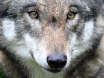 Vlk dravý bude patriť medzi striktne chránené živočíchy