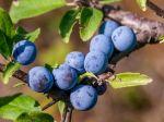 Nájdete ich všade v lese: Trnky sú nálož plná zdravia