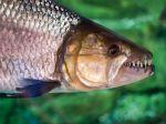 V bojnickej zoo možno nájsť jednu z najnebezpečnejších rýb sveta