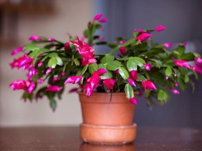 Ako sa starať o vianočný kaktus: Všetko o zálievke, kvitnutí a rozmnožovaní