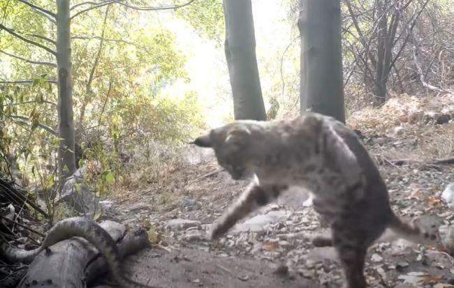 Video: Rys narazil na štrkáča. Kamera zachytila ich súboj