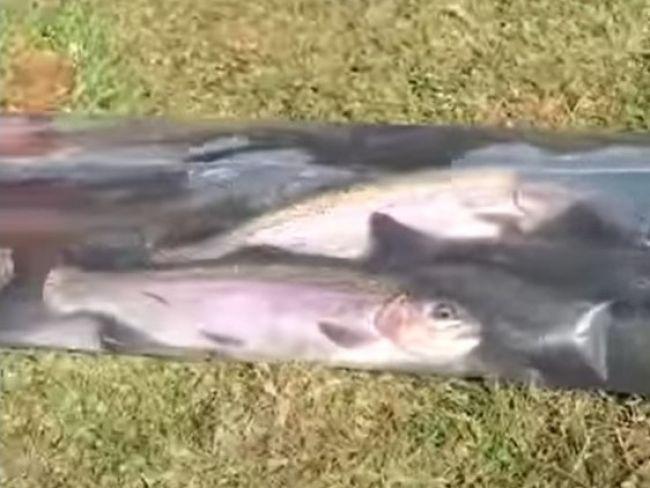 Video: Živé pstruhy takto cestujú do jazera