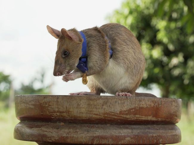 Potkan, ktorý zachraňoval životy vyhľadávaním mín, ide do