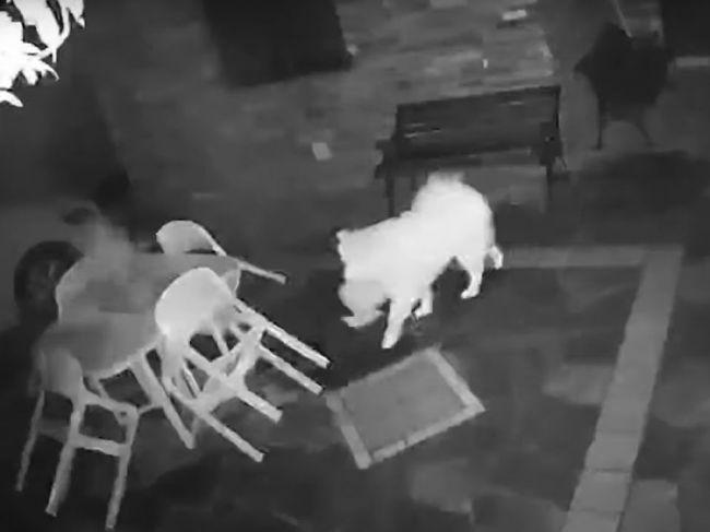 Video: Samojed prekvapil majiteľov. Toto robí vždy, keď ho pustia von