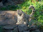 Nezaočkovaný leopard snežný v zoo v San Diegu ochorel na covid