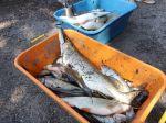 SIŽP: Počet rýb, ktoré hromadne uhynuli na rieke Hron, narastá