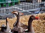 Francúzsky startup chce vyrábať laboratórne vypestované foie gras