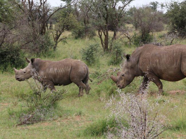 V Juhoafrickej republike zabili za pol roka najmenej 249 nosorožcov