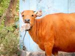 Plastovú krízu môžu vyriešiť kravy