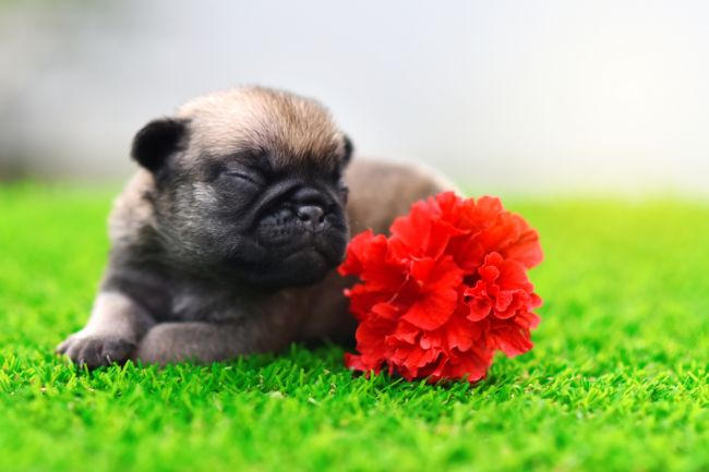 Bežné kvety v dome a záhrade môžu byť pre psov nebezpečné. Tieto druhy radšej nepestujte