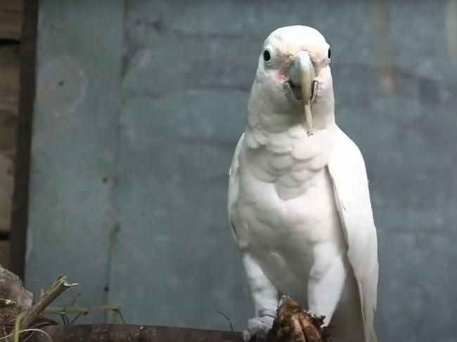 """Video: Divoké papagáje prekvapili vedcov. Naučili sa používať """"príbor"""""""