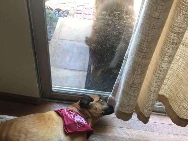 Video: Pes otvoril oči a zbadal medveďa. Takto naňho zareagoval