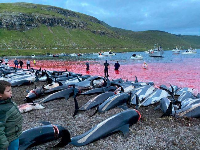 Obyvatelia Faerských ostrovov počas víkendu zabili 1428 delfínov