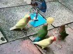 Video: Papagáje predviedli neskutočný výkon. Takto hrajú basketbal