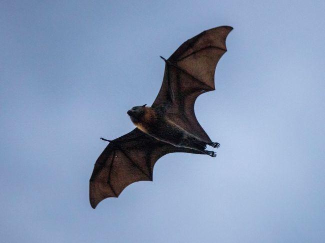U netopierov v Laose sa našli vírusy podobné SARS-CoV-2