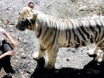 Video: Návštevníci zoo zachytili fatálny stret s bielym tigrom