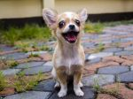 5 dôvodov, prečo si adoptovať čivavu. Skutočne sú čivavy agresívne?